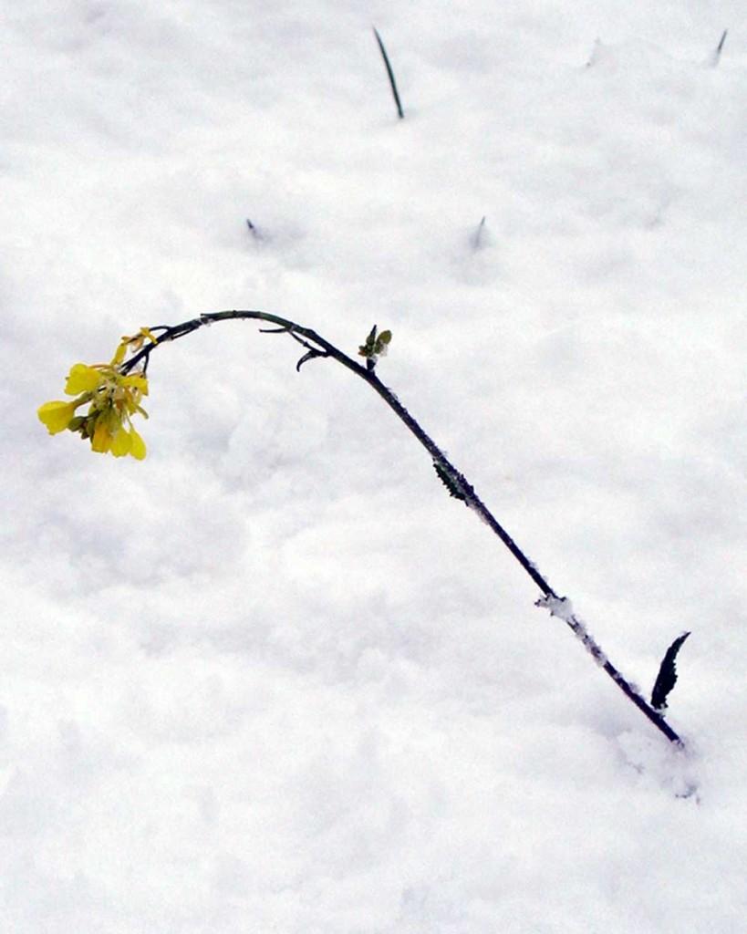 Neve-fiore-giallo-grande