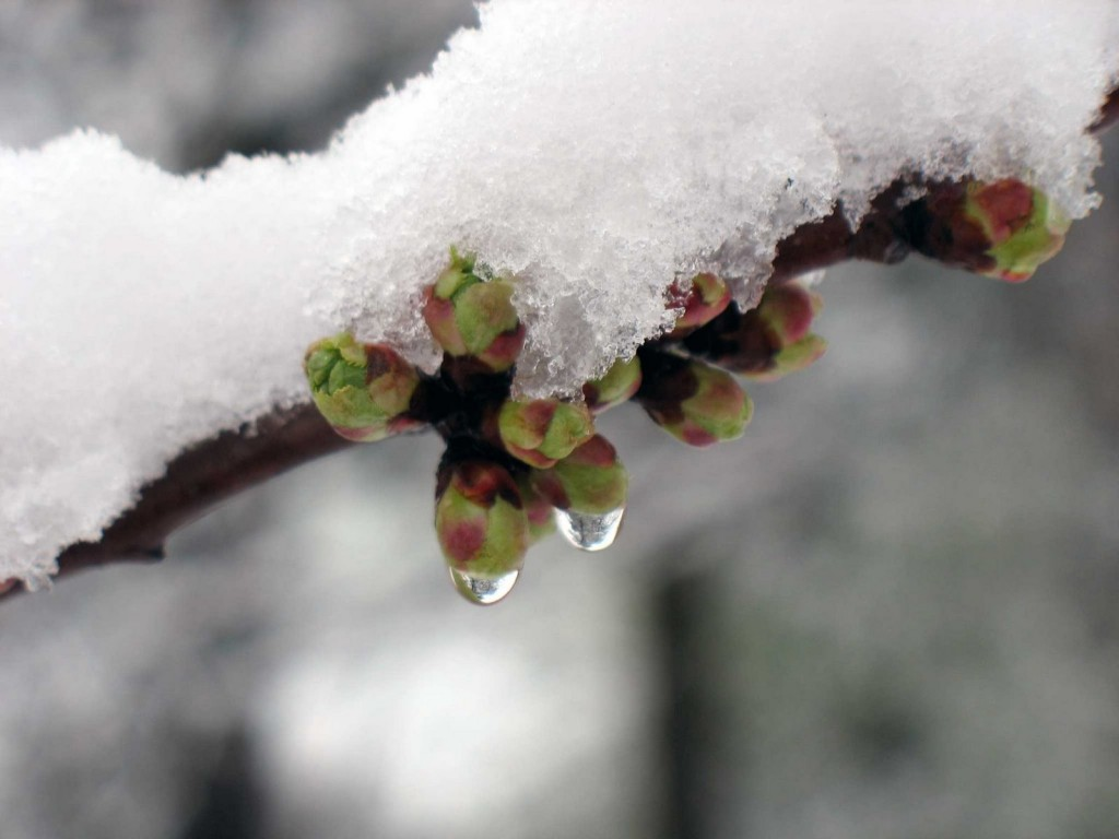 Neve-gemme