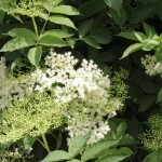 Everything elderflower 1: Elderflower jelly