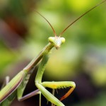 Photo of the day: mantis