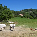 Photo of the day: Marchigiana cows at Valle Nuova