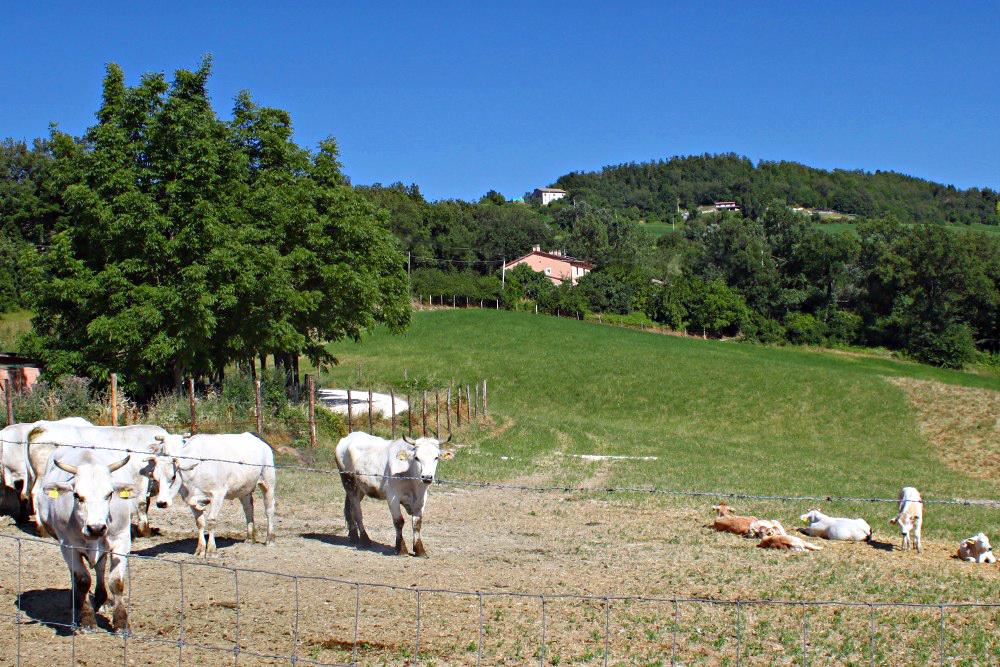 Valle Nuova Marchigiana cows