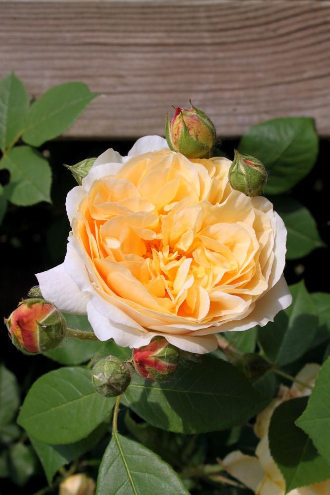 teasing georgia English rose