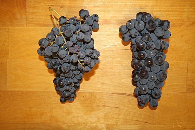 Marche wine grapes Sangiovese Montepulciano