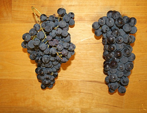 Photo of the day: some Marche wine grapes