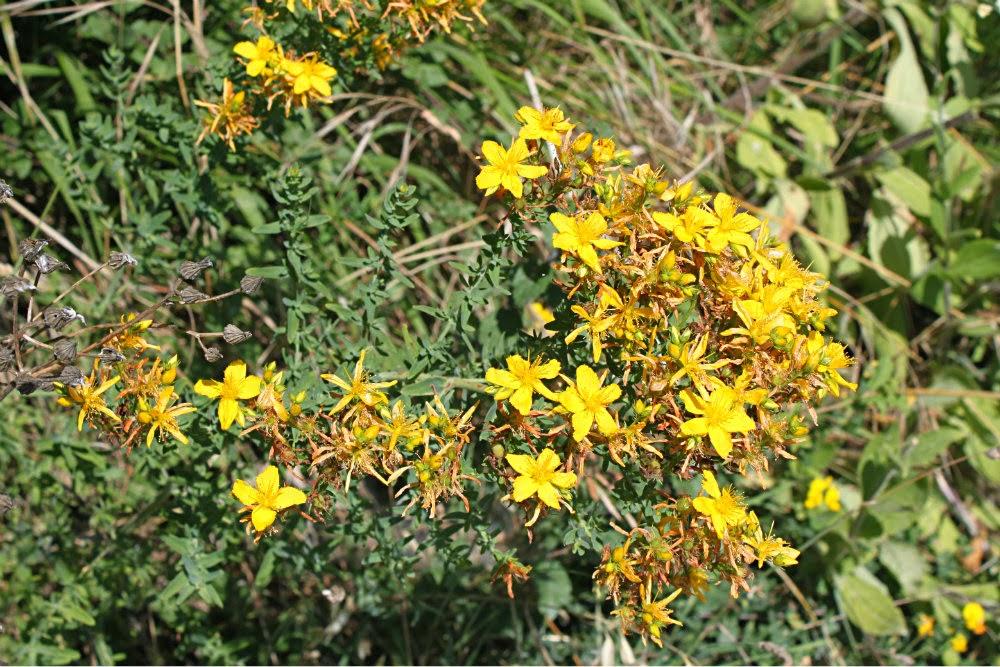 Saint-John-s-wort-foraging