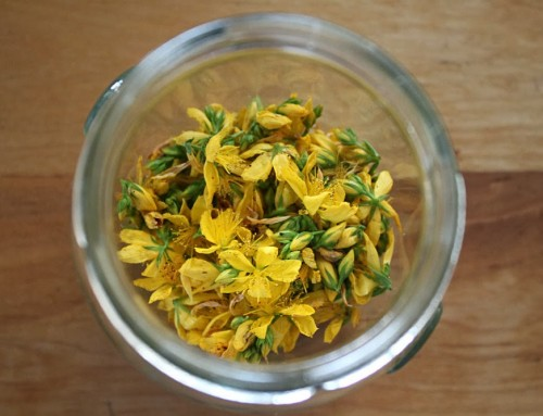 FORAGING: Saint John's Wort oil