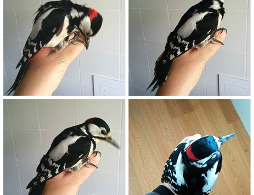 A great spotted woodpecker in my bathroom