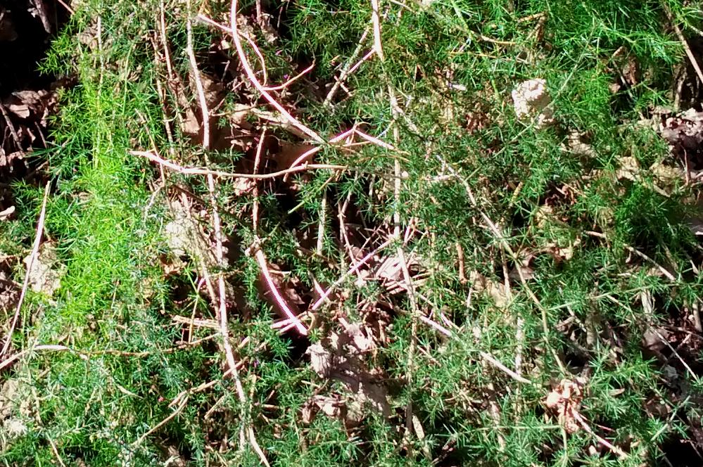 wild asparagus plant