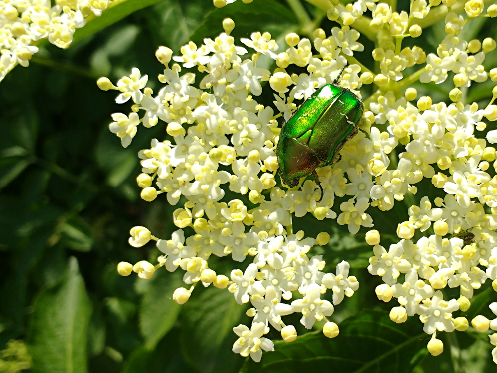 Elderflower foraging walk - Rose chafer