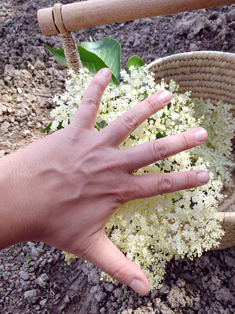Elderflower foraging walk Big elderflower