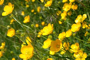 Buttercup wild flowers flora Marche Italy Nature