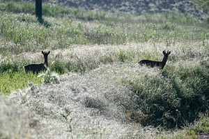 Caprioli Roe Deers Marche Italy Nature