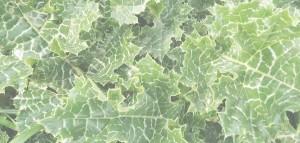 Foraging edible wild greens Marche Urbino