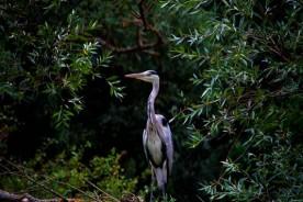Grey heron gray heron Marche fauna Urbino holidays