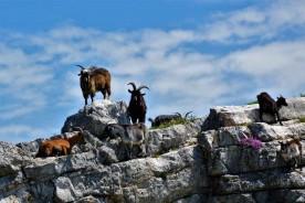 Wild Goats Monte Nerone Monte Catria Marche Italy Nature Trekking