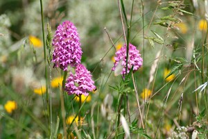 Wild Orchids Marche Countryside Italy nature flora unspoilt