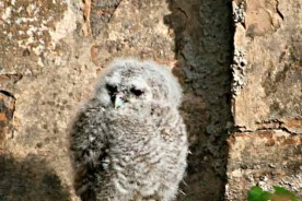 tawny owl chick allocco furlo natural park Marche outdoor