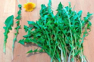 Dandelion forage wild food holiday Marche Urbino