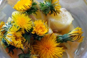 Home made dandelion liqueur foraging homemade spirits Marche Italy