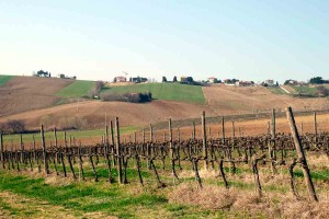 Le Marche vines Spring vineyard wines of Le Marche Italy
