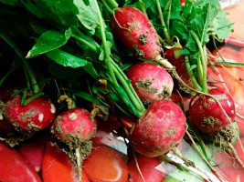 Organic radishes kitchen garden farm to table Urbino Marche Italy