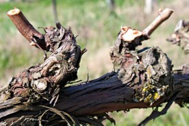 Le Marche vines vineyard pruning Marche wines Italy