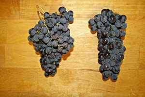 Sangiovese Montepulciano grapes Marche Italy wines