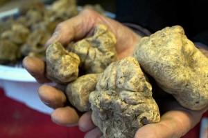 Tartufo bianco white truffle winter truffle Acqualagna Marche Italy