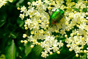 Rose chafer elderflower Italy