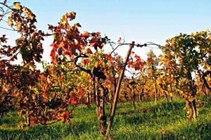 Sangiovese vines Le Marche wine