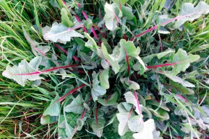 Italy marche Urbino countryside foraging wild greens wild food