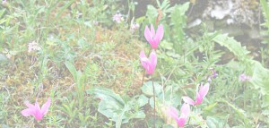 Wild Cyclamen Le Marche Woods Nature Italy holidays