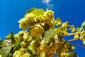 wild hop beermaking foraging Marche beer Itay