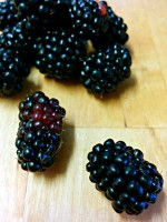 blackberries wild berries foraging holiday Italy Marche Urbino