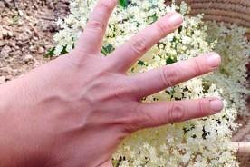 Big elderflower liqueur cake cordial Italy marche Urbino foraging