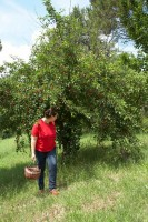 Collecting organic fruit green orchard agriturismo eco farm holiday Marche