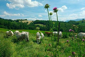 Le Marche organic Cows Valle Nuova