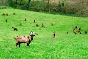 Le Marche organic goat cheese producers Urbino cheesemaking