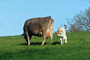 Organic cow milk cheese Marche Italy Urbino cheesemaking class