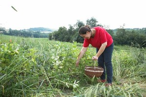 Picking organic vegetables Marche organic farmstay green holidays Italy