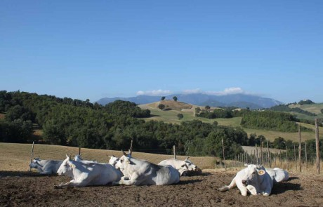 Organic cows countryside hills Green holidays Marche Italy