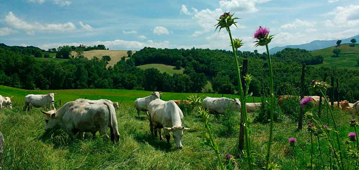 Happy organic cows Marche accommodation eco holidays