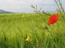 Poppy green field Marche Italy