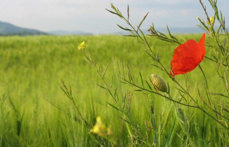 Poppy green field Marche Italy